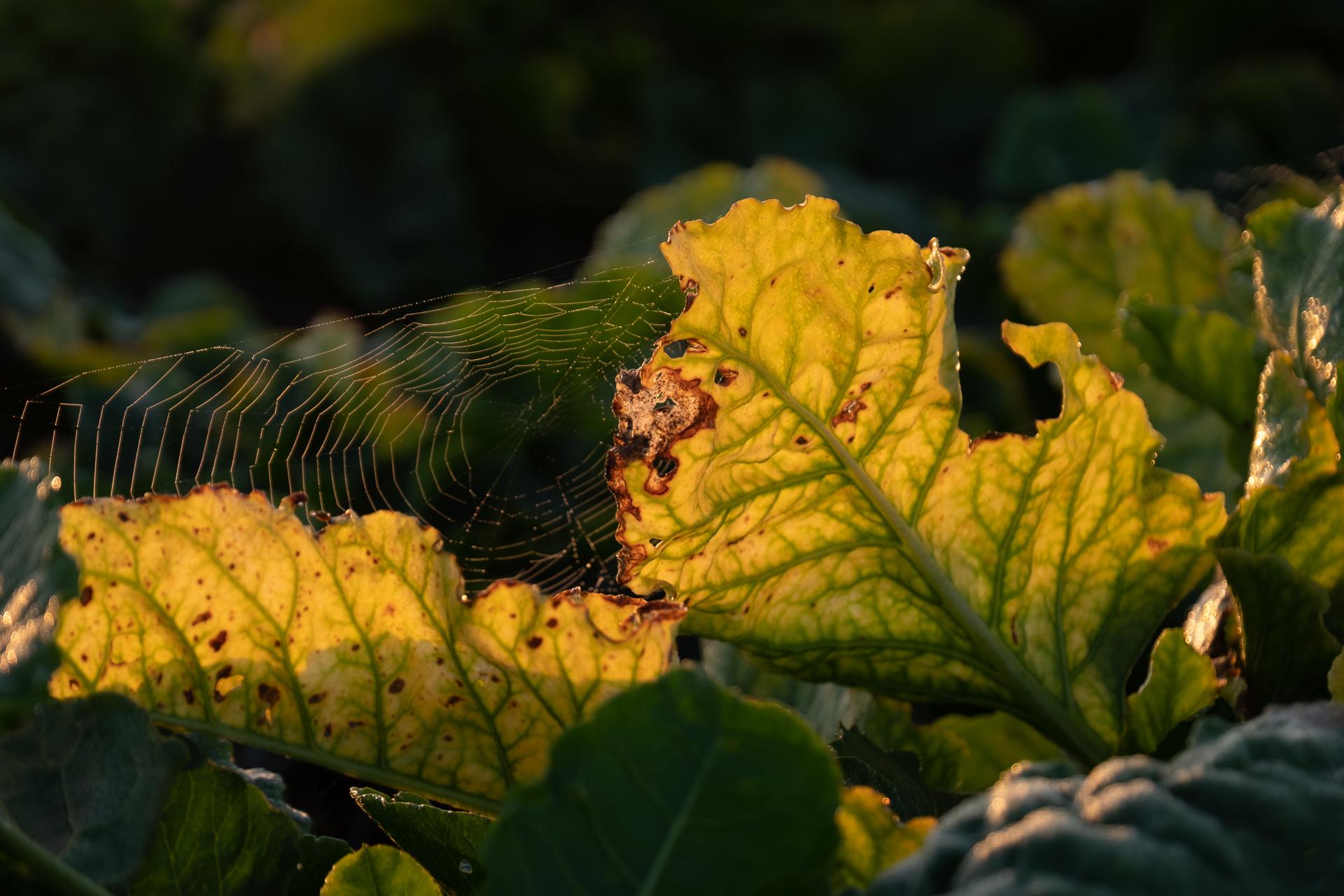 Herkenning vergelingsvirussen en bladluizen in suikerbieten