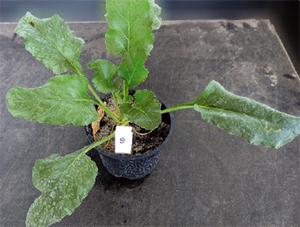 Effectiveness of ALS‐herbicides registered for cereals to control ALS‐tolerant and ALS‐non‐tolerant weed beets