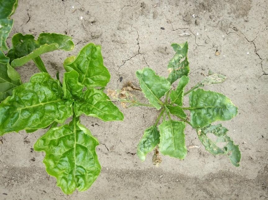 Afbeelding met grond, sla, plant, groente Automatisch gegenereerde beschrijving