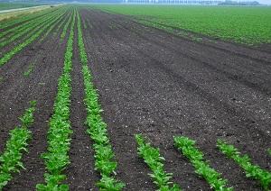 Verminder schade van bodeminsecten door de juiste zaaiomstandigheden