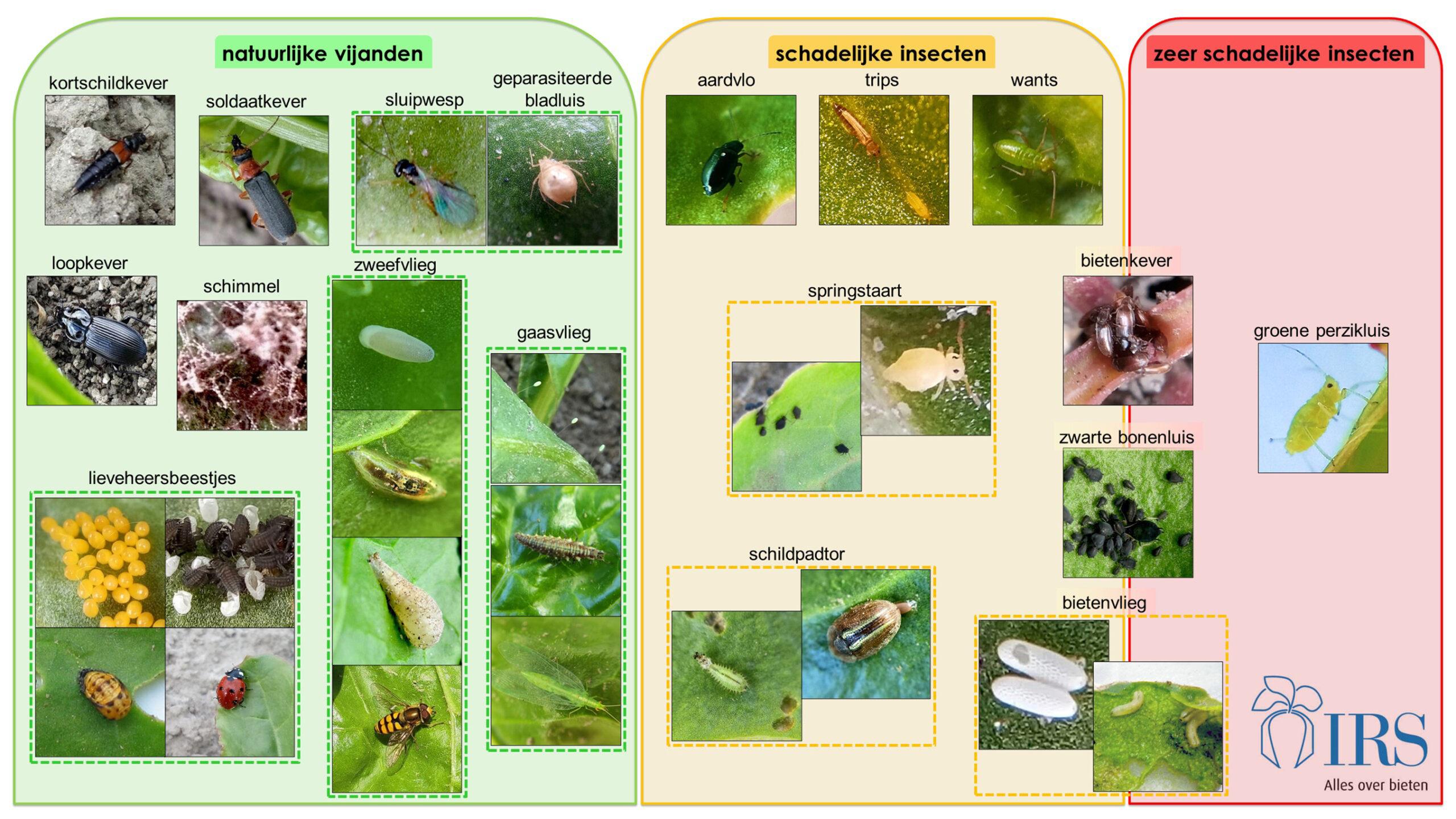 Het bekijken van bietenplanten en het herkennen van insecten