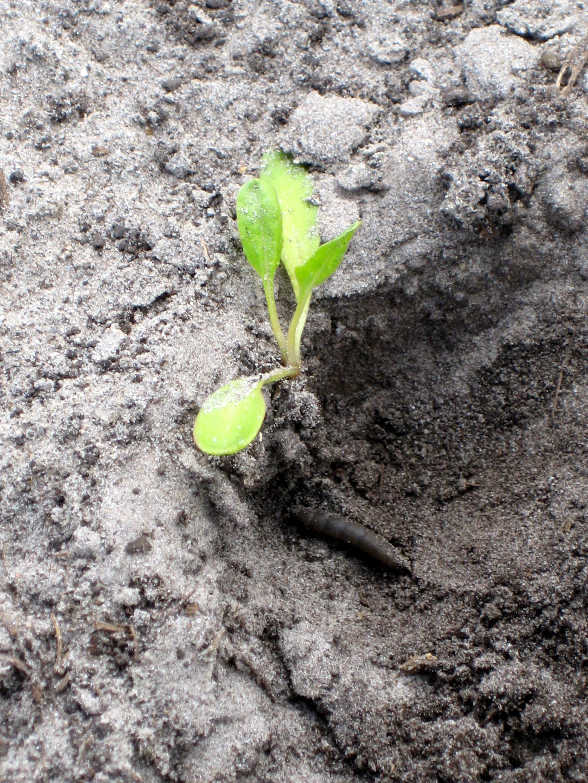 Tot wanneer kunnen bodeminsecten zorgen voor plantwegval?