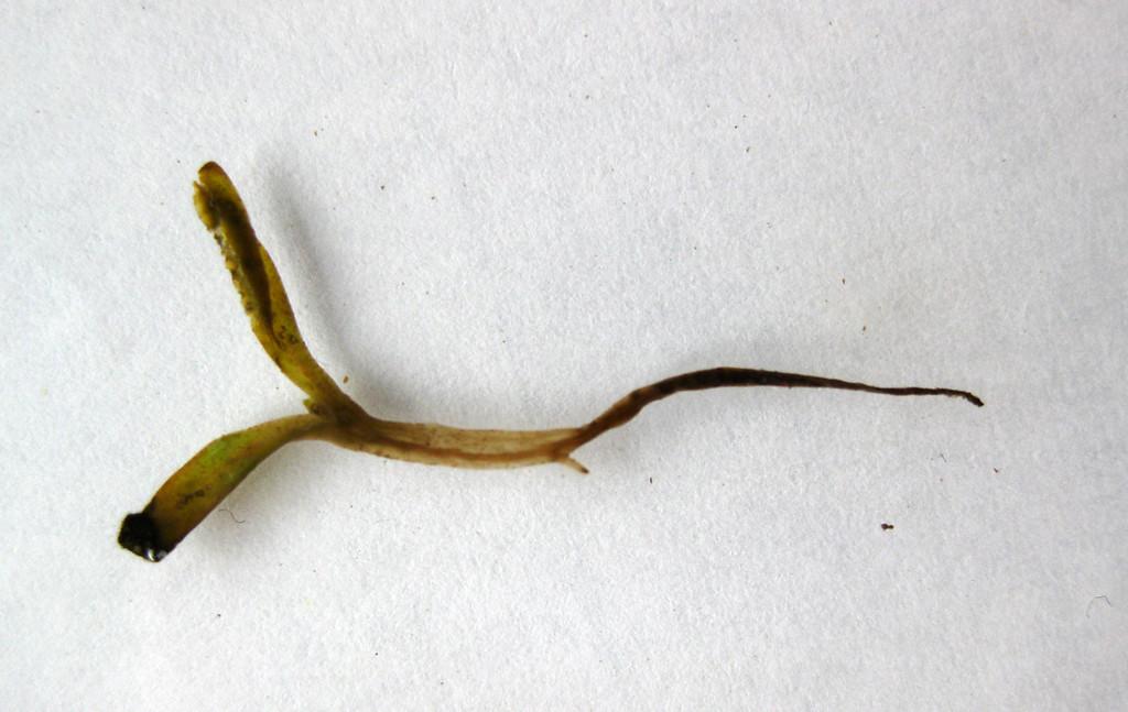 Nieuws uit de bietenkliniek: plantwegval door pythium
