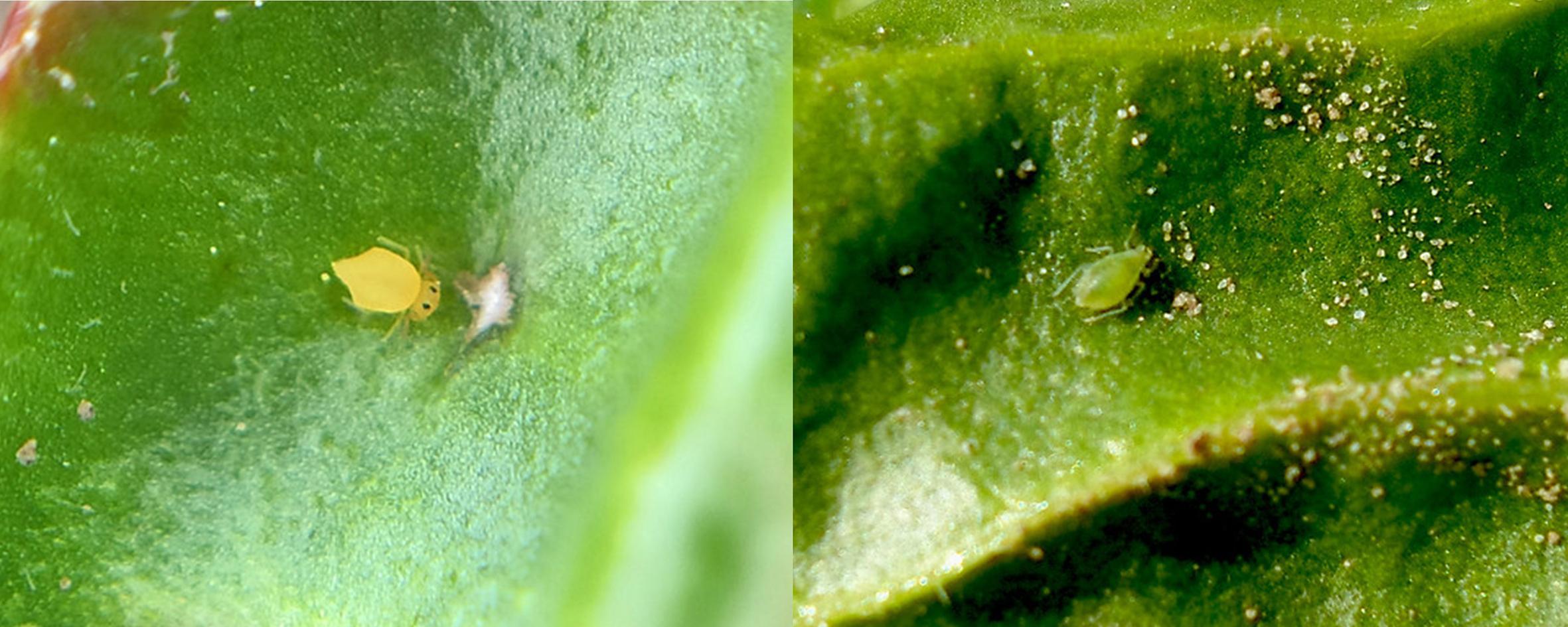 Sommige insecten lijken op groene bladluizen, maar zijn het niet