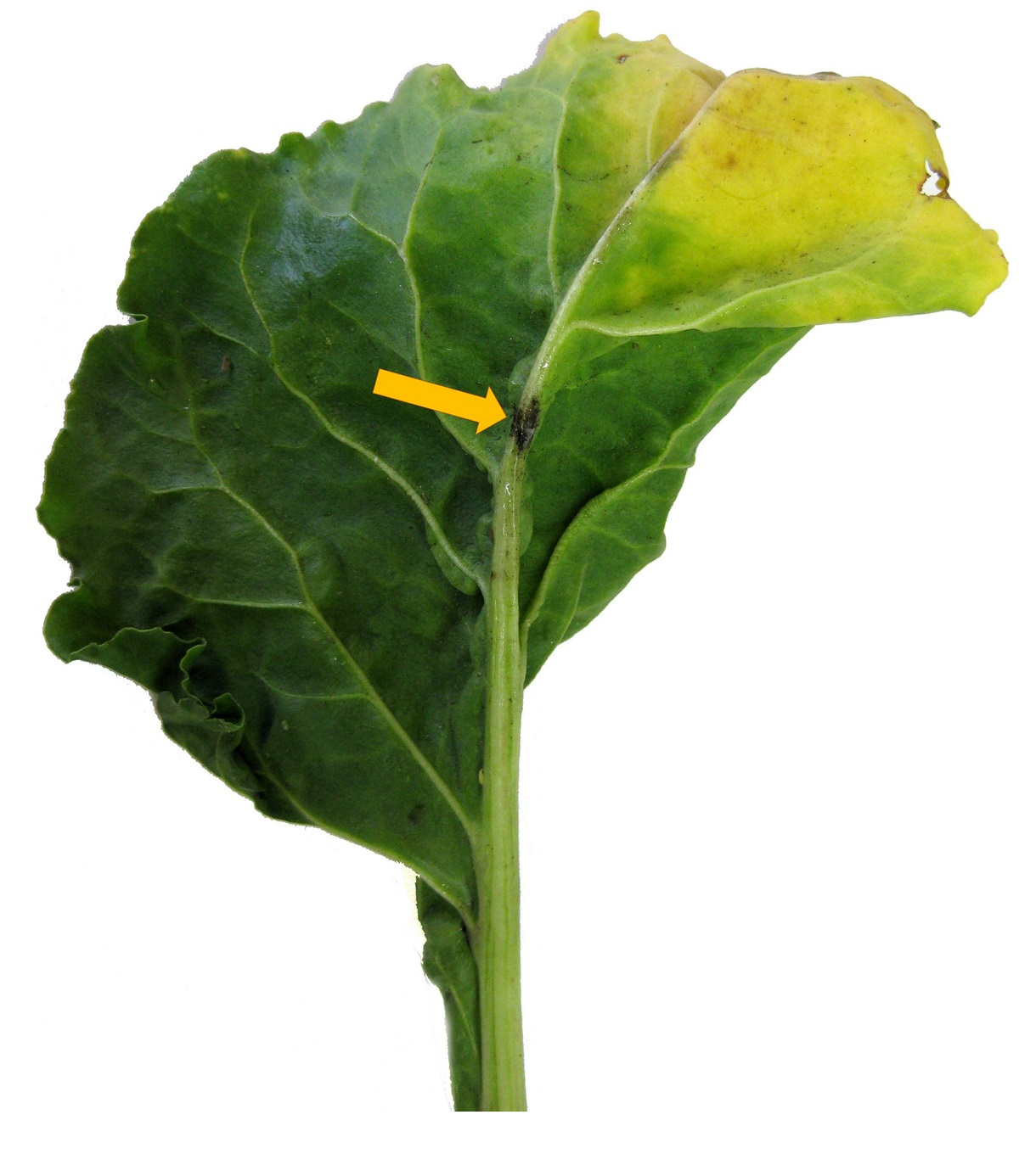 Gele bladtoppen kunnen ontstaan door aantasting van wantsen