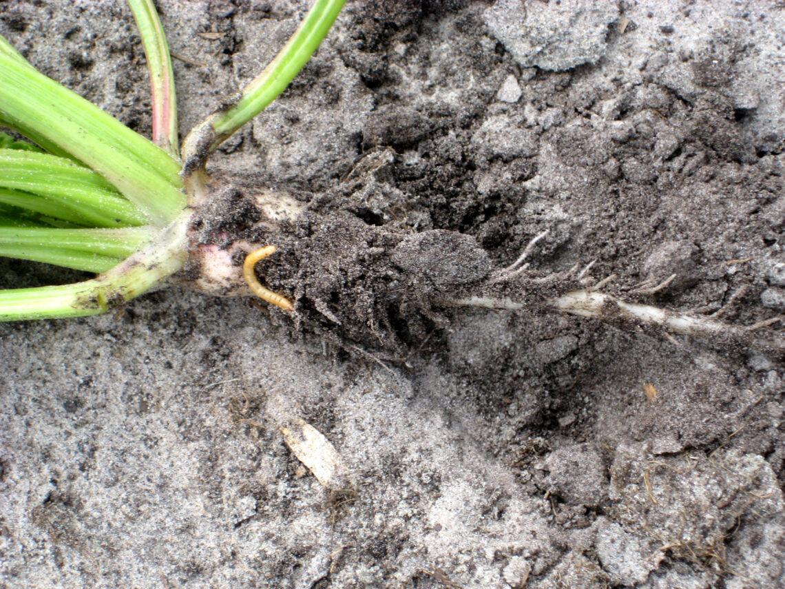 Plantwegval door bodeminsecten voorkomen